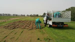 Production du gazon en plaques